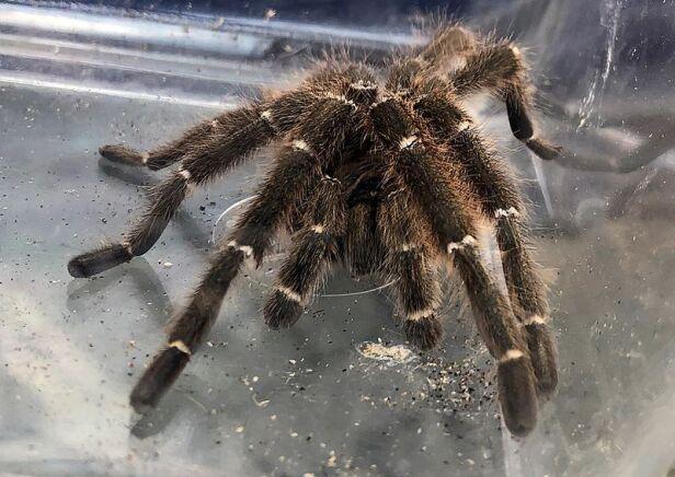 Jadowity pająk w Śródmieściu straż miejska