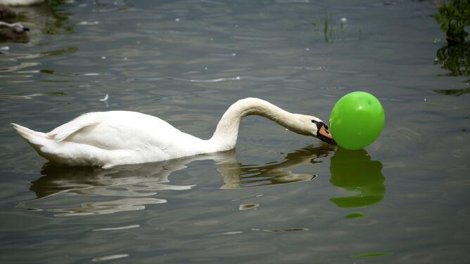 Mylą je z kałamarnicami. Balony dużym zagrożeniem dla ptaków morskich