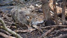 Znaleźli młodą wilczycę we wnykach (Nadleśnictwo Dwukoły/Lasy Państwowe)