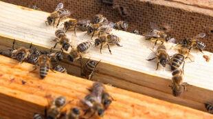 Chciał usunąć gniazdo pszczół. Zmarł w wyniku licznych użądleń