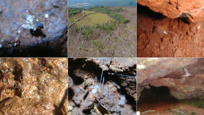 Są wielkości ziarna ryżu. 18 nowych gatunków pająków morderców