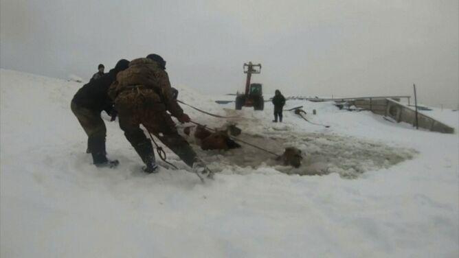 Dramatyczna akcja ratunkowa. <br />Klacze wpadły do lodowej pułapki