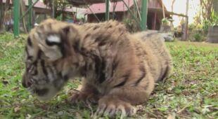 Tygrys nazwany imieniem Covid